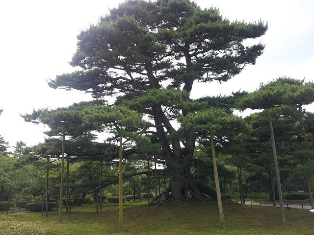 兼六園の根上りの松